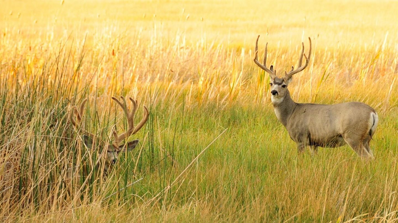 Deer, Buck